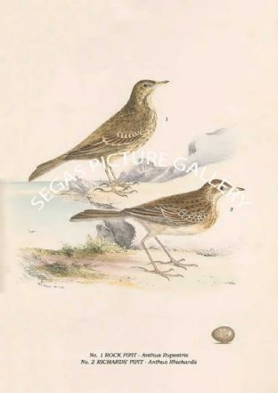 ROCK PIPIT - Anthus Rupestris, RICHARDS' PIPIT - Anthus Rhichardii